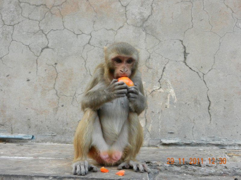 cheeky monkey eating fruit