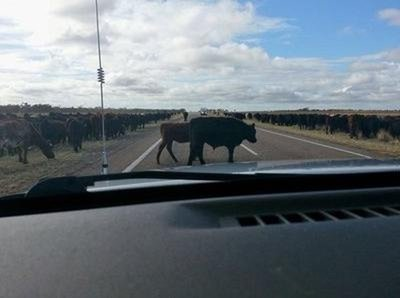 A large mob of cattle on the road