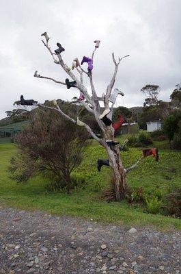 A Gum Tree at Pieman Heads