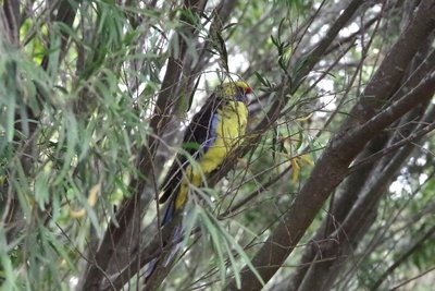 A green rosella waiting for food