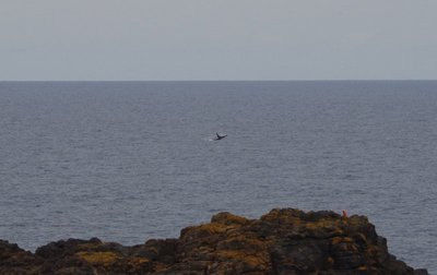 A whale off the Kiama Blowhole Point