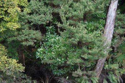 Tasmanian Native Laurel
