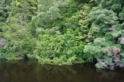 Dense Rain Forest with a Huon Pine or two