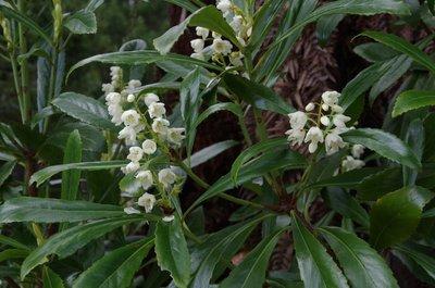 Tasmanian Native Laurel - it grows everywhere at Corinna.