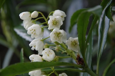 A close-up of the flowers on the Tasmanian Native Laurel.