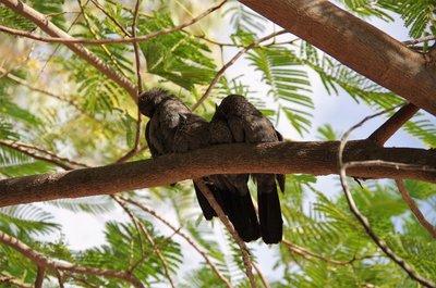 Apostle birds snuggling up together.