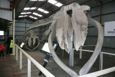 Blue Whale skeleton