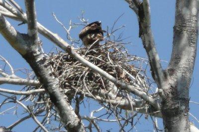 A Kite on its nest