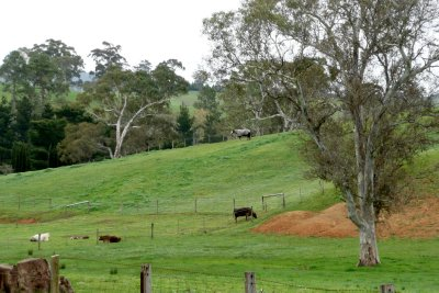Dairy cattle in the Adelaide hills
