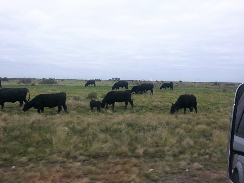 Cattle on the road between Hay and Balranald.