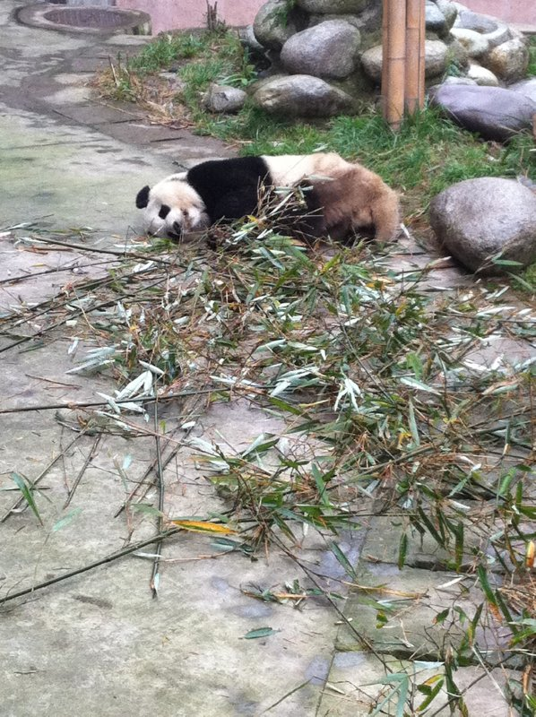 This guy had obviously been on a bit of a bamboo binge and must have passed out mid munch