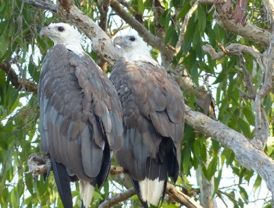 Mr and Mrs Sea Eagle