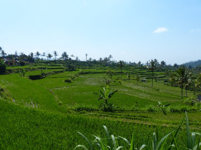 Beautiful rice field in Northern Bali