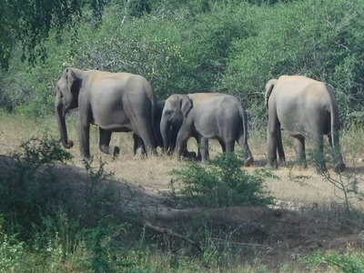 The First Group of Elephants