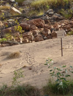 Croc trails along Katherine Gorge
