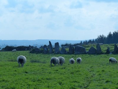 Beltany stones with resident sheep