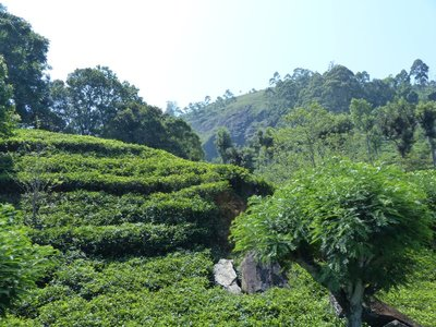 Tea fields from the train