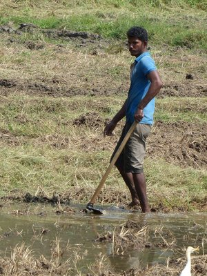 Farming the Rice Fields - Anuradhapura