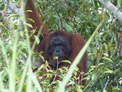 Our first wild Orangutan sighting