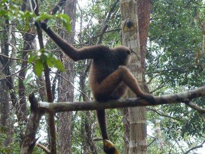 Sneaky Gibbon