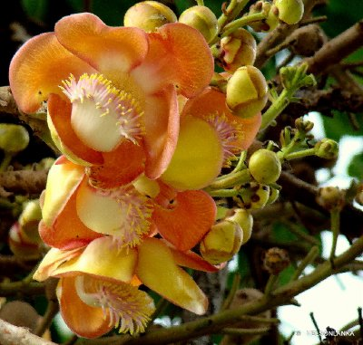Flowers from the cannonball tree