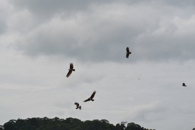 Eagle feeding trip, Langkawi