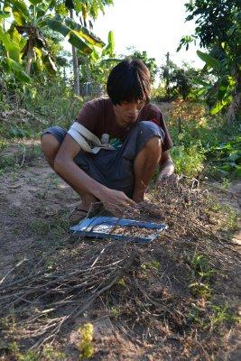 'Seed saving' at Pun Pun - lemon basil