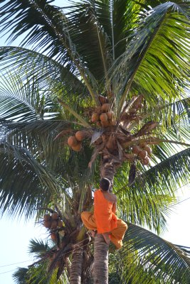Young monk collecting coconuts from the tree, Luang Prabang