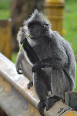 Silverleaf monkey eating