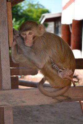 Temple monkey, Mai Tang