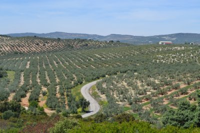 Olive groves along the Via Verde