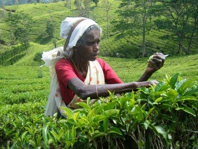 Tea plucker, 58 years old