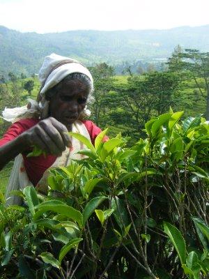 Hope tea estate plucker