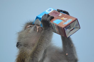 Monkey drinking chocolate milk