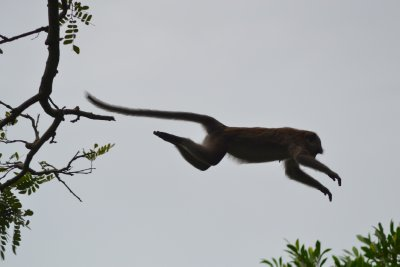 Monkeys jump between the trees all the time!