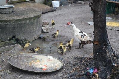 Baby chics in Langkawi kampung