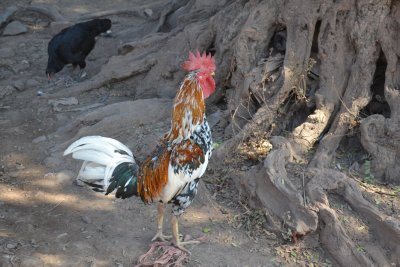 Chicken in the village