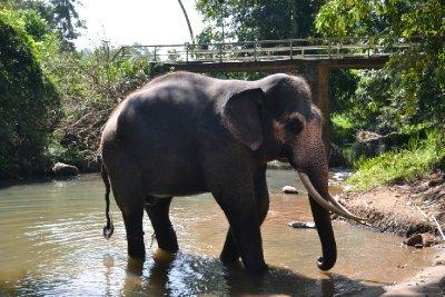 Raja the elephant