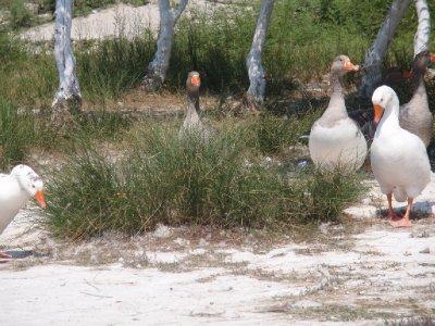 Ducks and Swans roaming Kourna Lake