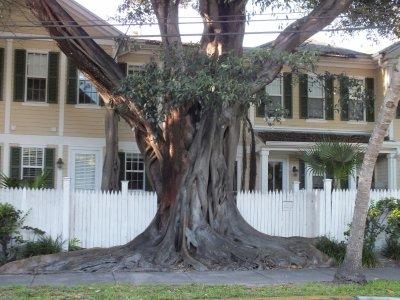 Old tree Key West