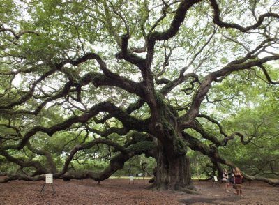 Treasure of Charleston - Angel Oak