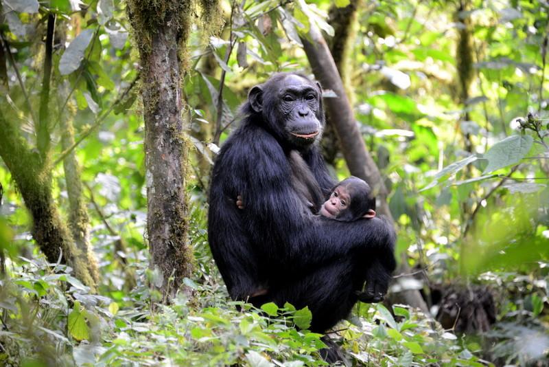 Chimpanzee Safari Uganda
