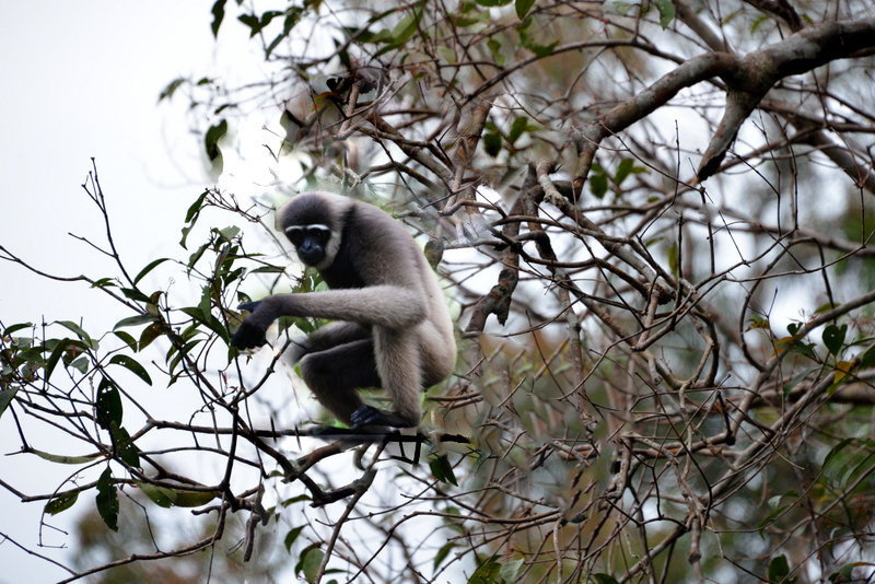 large_gibbon_tree_4.jpg