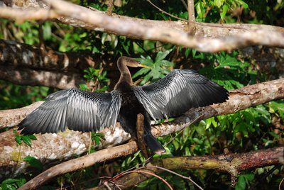 Bird from the cormorant family drying it's wings