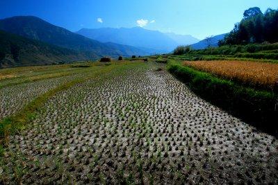 Paddy field view, Wangdue