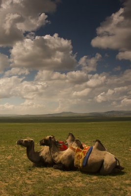 Camels, Mongolia