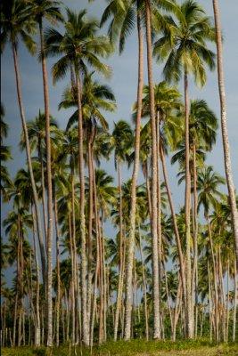 Coconut plantation, Santo Island