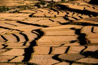 Paddy fields of Paro