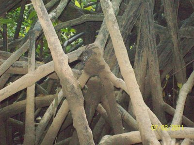 Crabs - Mangrove