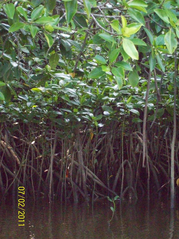 Roots of Trees - Mangrove